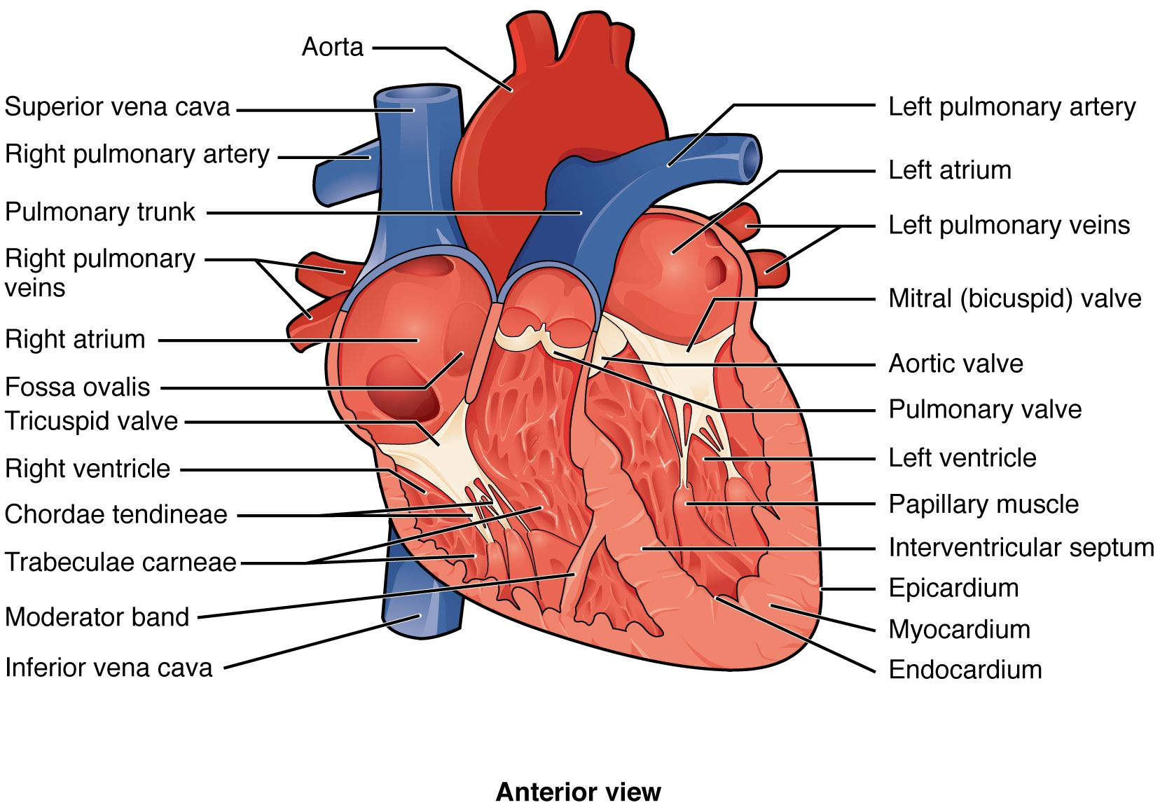 Diagram Of The Heart Labeled Structure Of The Human Heart Labeled Heart Diagram With Labels Cardiac Anatomy Heart Anatomy Heart Diagram