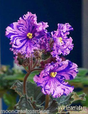 African Violet Leaf Rs Zabijaka The Bully The Showoff Bunga Ungu Bunga Eksotis Menanam