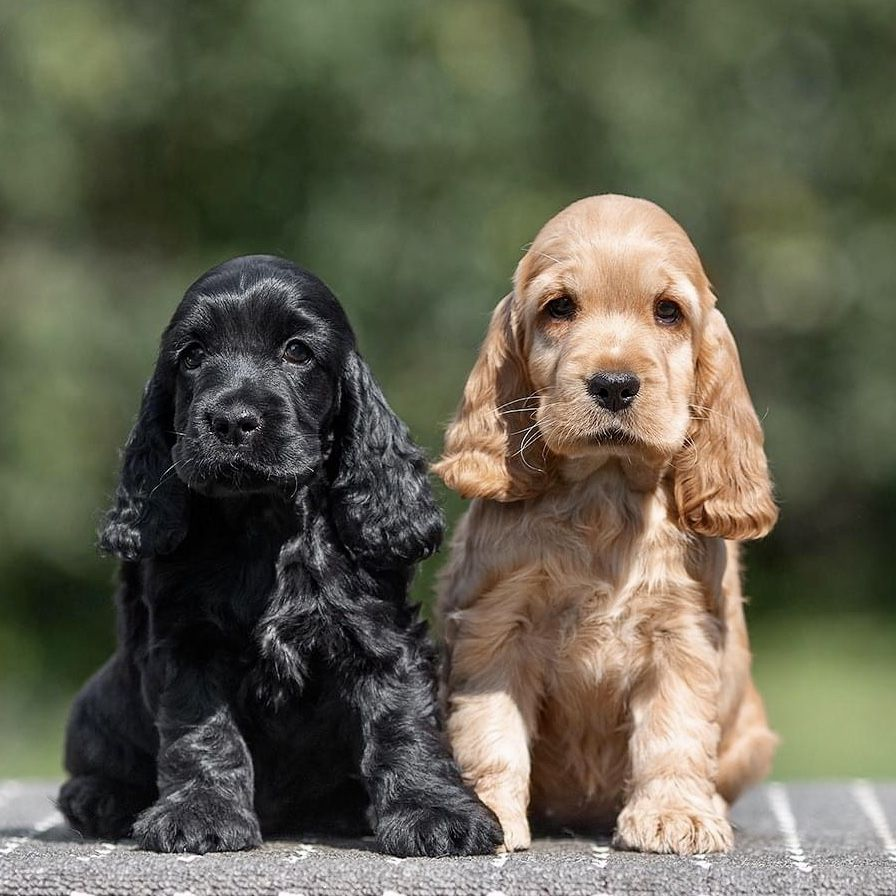 Pin By Andreja Peternel On Cockerspaniel In 2020 Cocker Spaniel Breeds Spaniel Breeds Cute Puppies