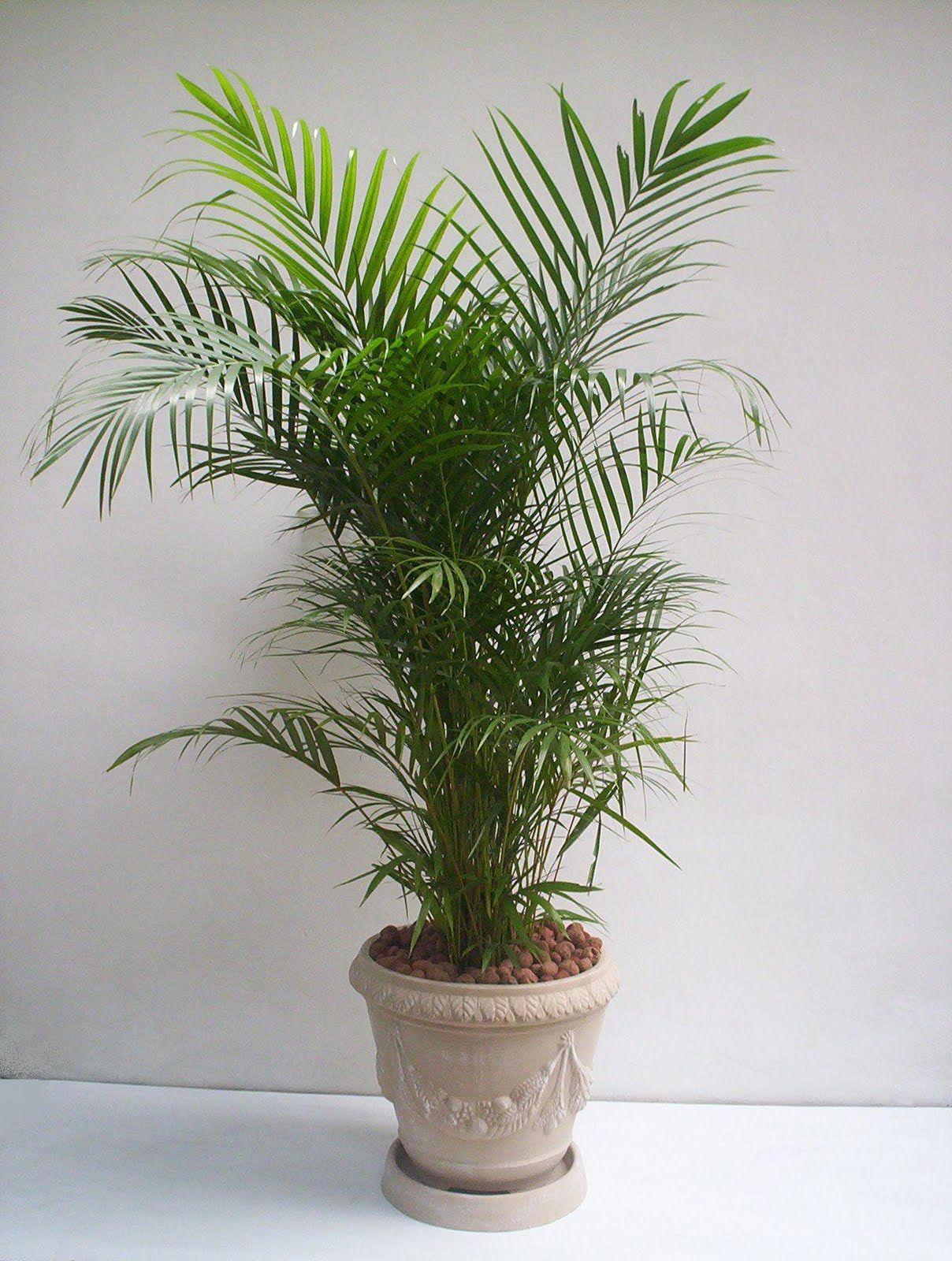 Plantas Ideais Para Ambientes Internos Palmeira Areca Dypsis