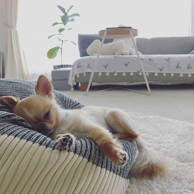 ベッド周り ペットと暮らすインテリア チワワ 犬 マンション などのインテリア実例 2017 08 02 22 10 16 Roomclip ルームクリップ チワワ 犬 チワワ犬