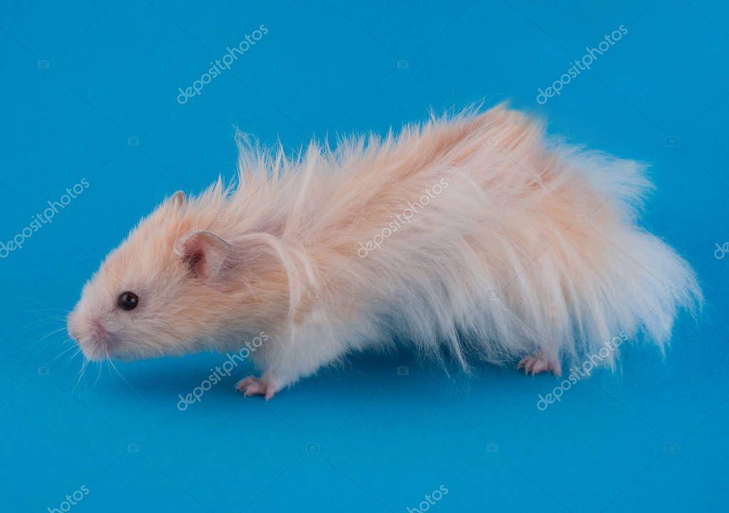 Golden Long Haired Syrian Hamster Stock Photo Sponsored Haired Long Golden Syrian Ad Syrian Hamster Hamster Long Hair Styles