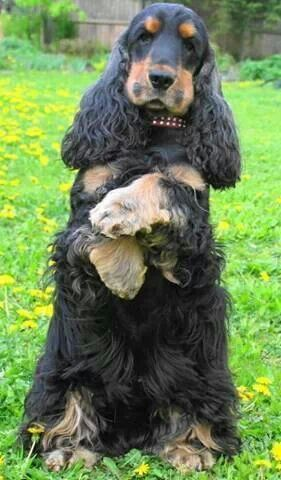 Pin By Sue Clark On Dogs And Puppies Cocker Spaniel Cocker Spaniel Breeds Cocker Spaniel Puppies