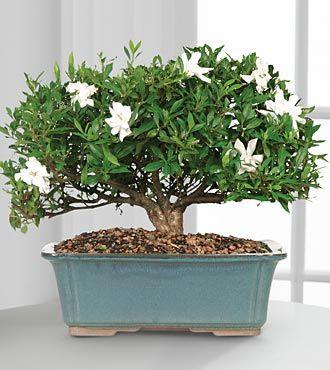 The Blossoming Abundance Gardenia Bonsai Ushers In Beauty And