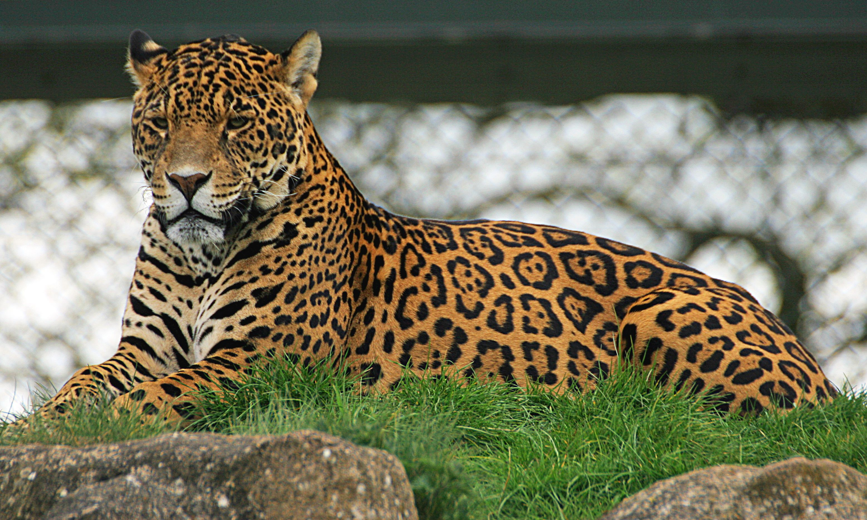 Asian Jaguar 64