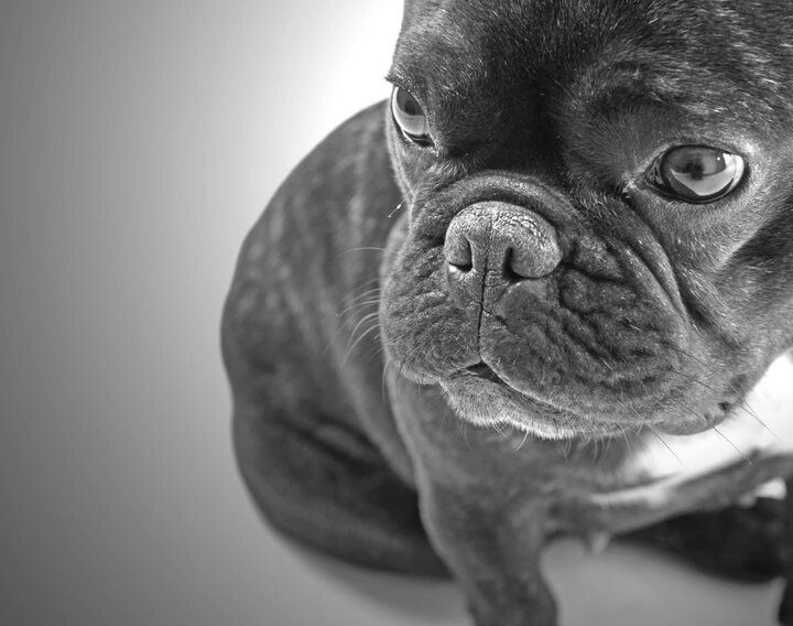 Dixie French Bouledogue Animals French Bulldog Dogs