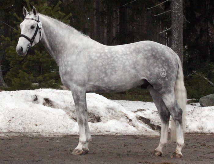 Hanoverian stallion Catcall | Dapple grey horses, Horses ...