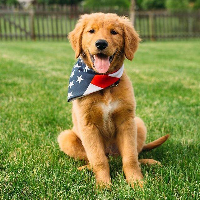 Thegoldenfinn Golden Retriever Flag Bandana Dogs Golden
