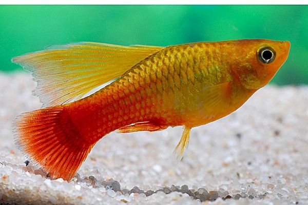 Xiphophorus Variatus Orange Gold Simpson Căutare Google