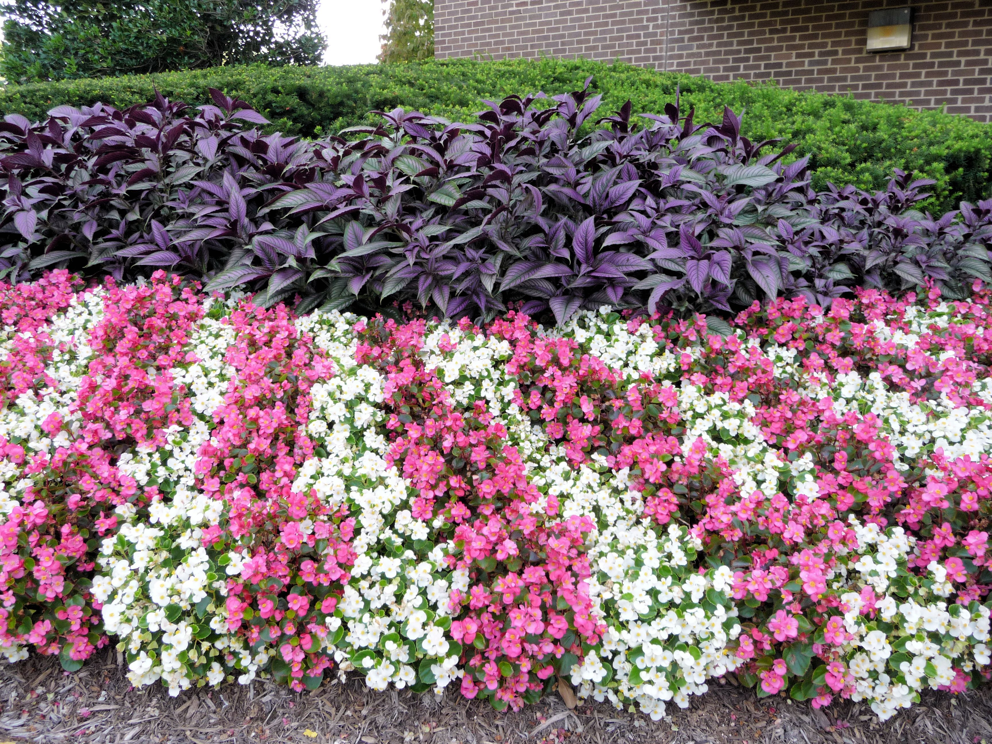 Purple Coleus And Begonias Flower Bed Designs Garden Projects Summer Flowers