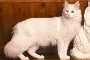 Kucing Turkish Angora Kucing Turkish Angora berasal dari ...