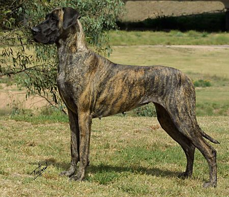 Great Dane Dream Dog Brindle Great Dane Great Dane Dane Dog
