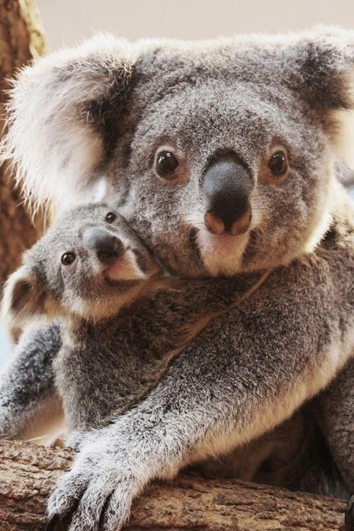 A very cute Koala baby hugging his mom !!!...love is in their faces !