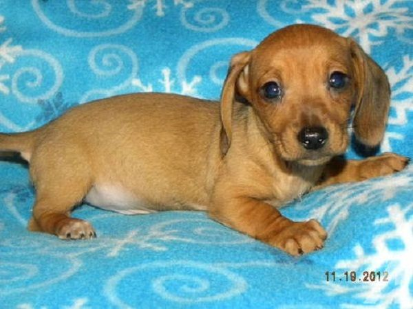 Dachshund Puppies For Sale In Arkansas Zoe Fans Blog Dachshund