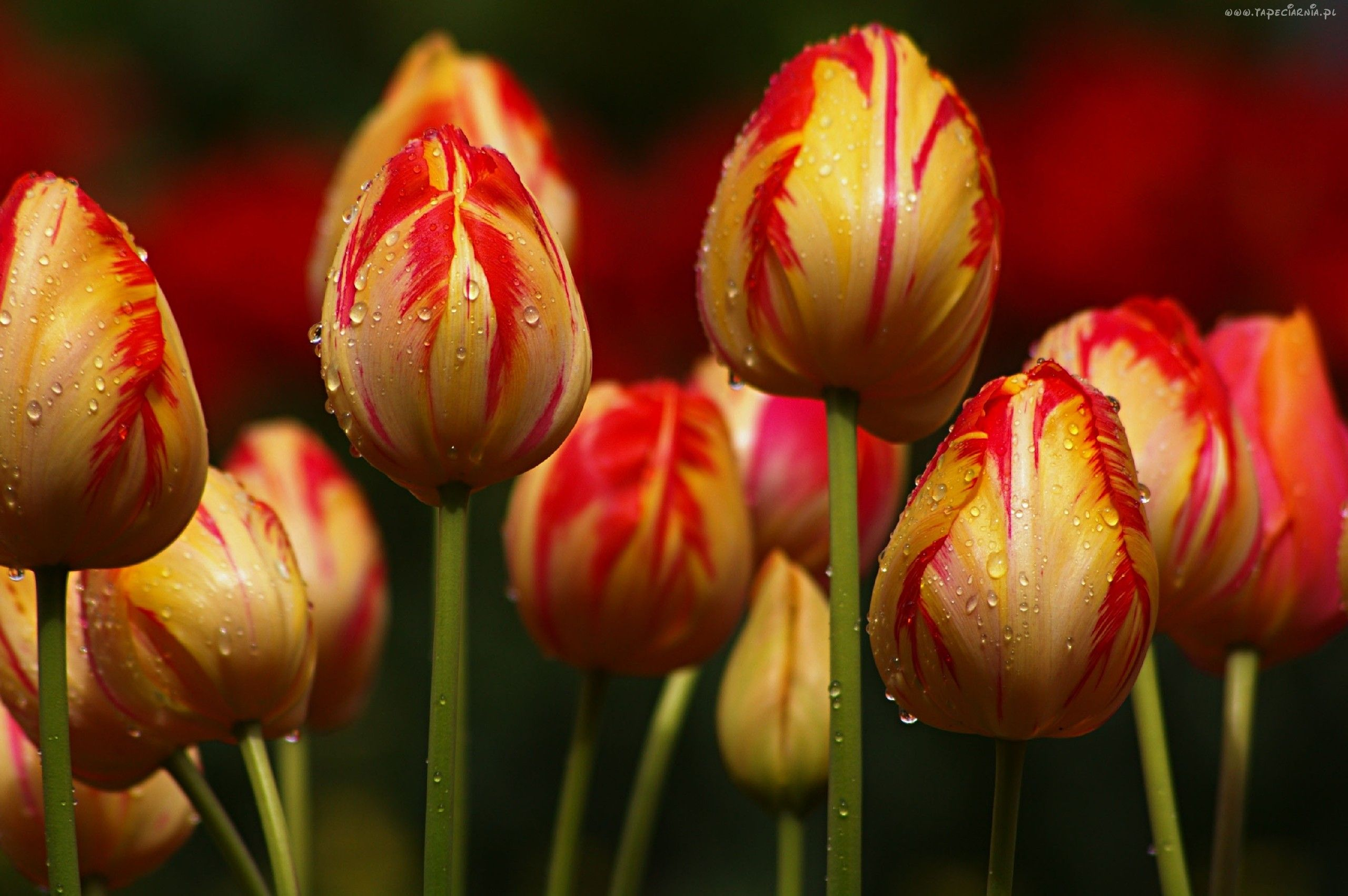 Czerwono Zolte Tulipany Krople Wody Tulips Images Tulips Flowers Tulips