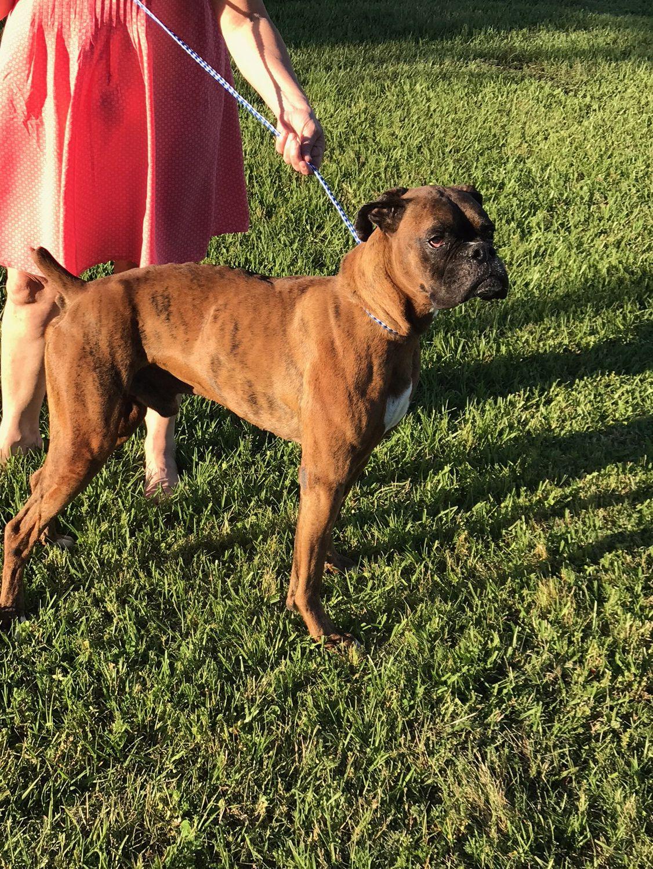 Boxer dog for Adoption in Jacksonville, AL. ADN532447 on
