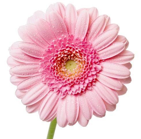Gerbera Daisies Any Colour So Pretty Pink Gerbera Transparent Flowers Gerbera Flower