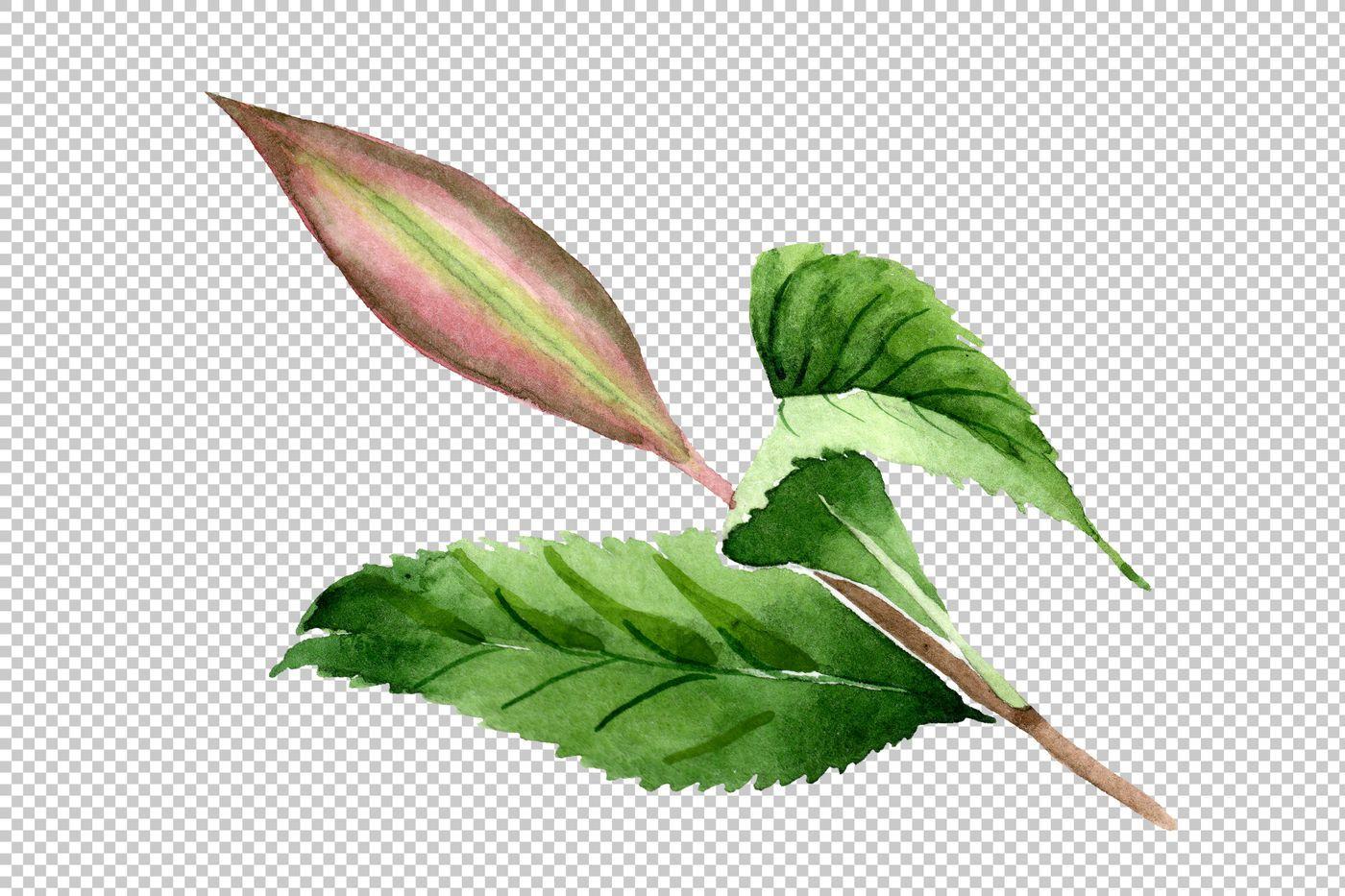 Tea Leaf Png Watercolor Set By Mystocks Thehungryjpeg Com Png Aff Leaf Tea Watercolor Adver Plant Leaves Floral Botanical Botanical Gardens