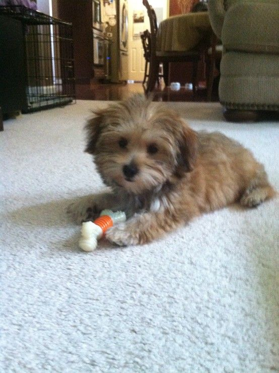 Cooper My Little Morkie Puppy At 3 1 2 Months Old Pin By