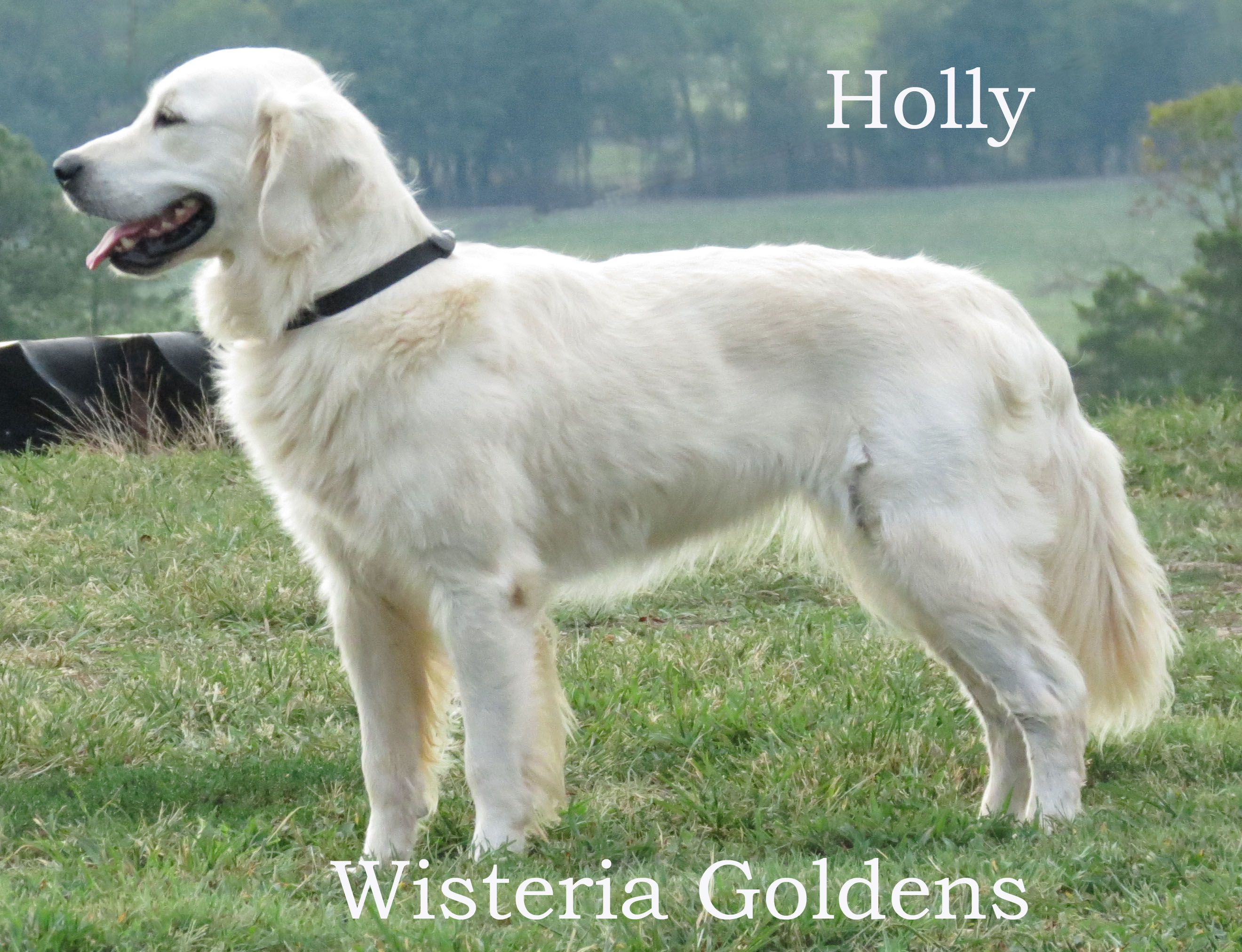 Holly English Golden English Golden Retrievers Golden