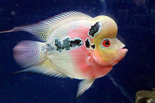 Short Body Flowerhorn Fish African Cichlids Fish Cichlids