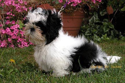 House Training A Shih Tzu Puppy