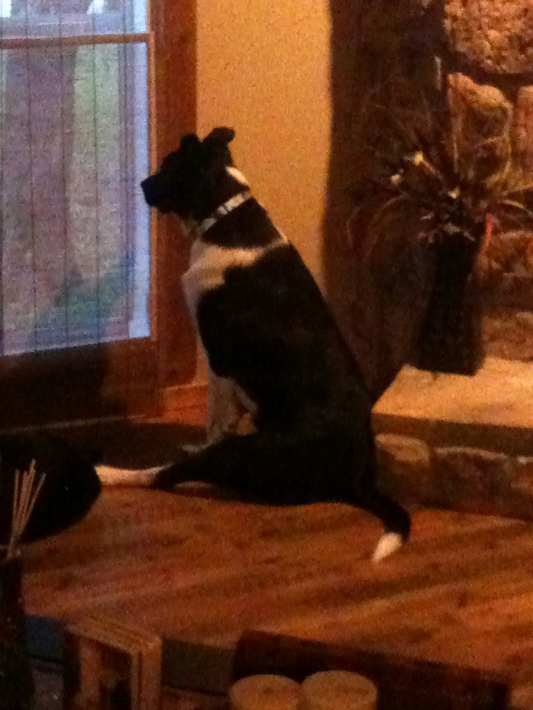 My border collie/lab sitting like a big girl looking out the window~hehe
