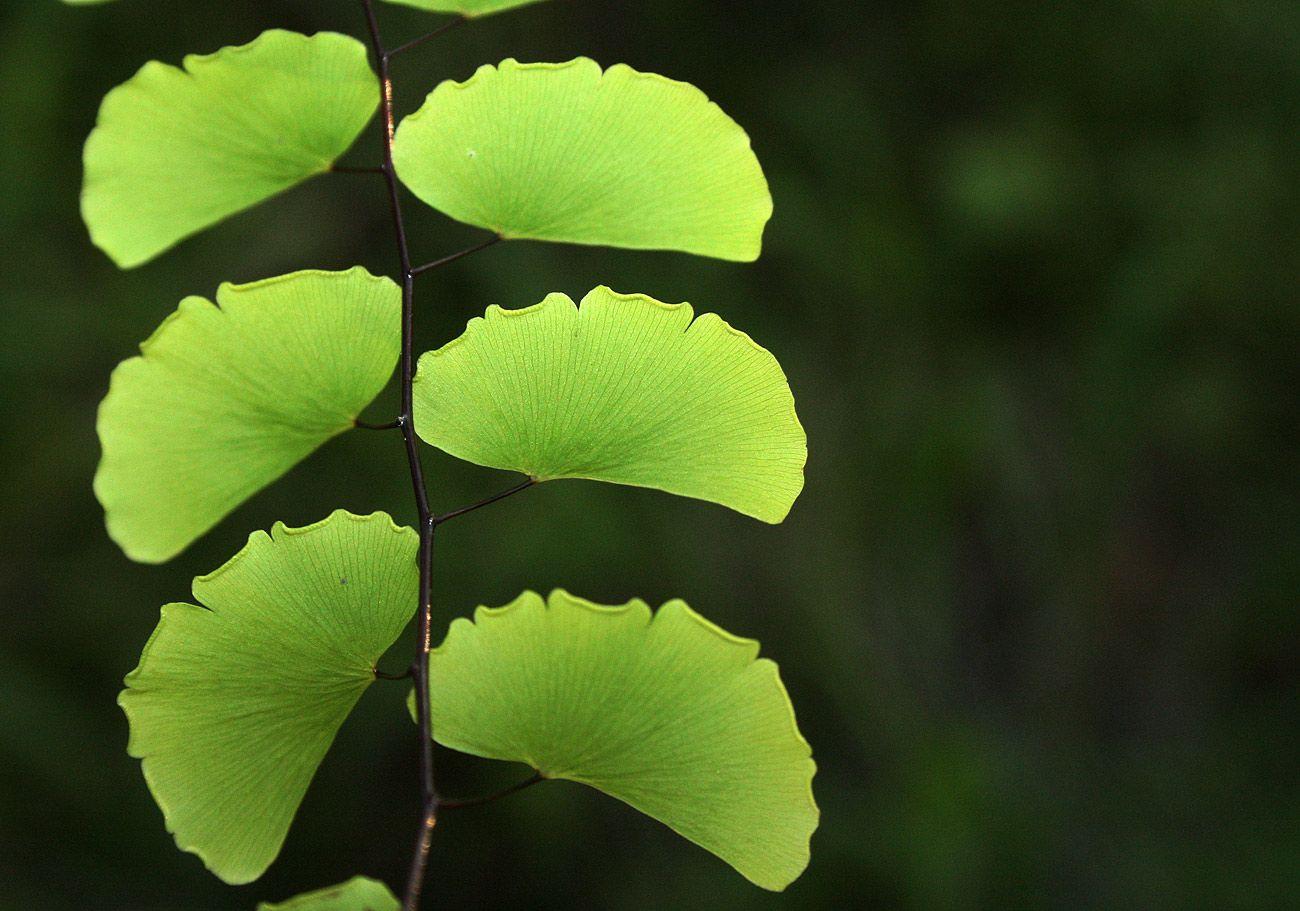 Адиантум венерин волос | Растения, Листья, Папоротник