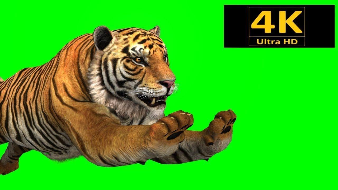Free Green Screen Animals Tiger Chroma Key 3d Animation 4k Hd Free Green Screen Greenscreen Chroma Key
