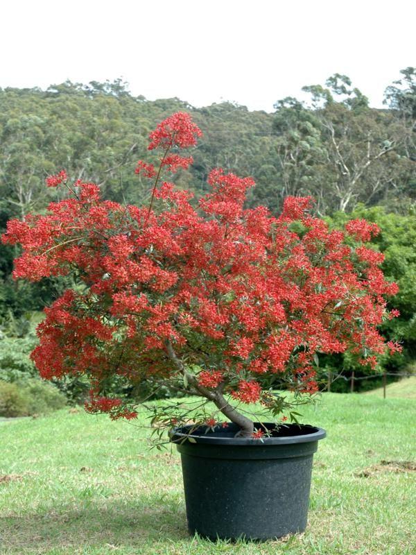 b26efe83b6e0db984b5cd43a3d806cd8 - Australian Native Trees For Small Gardens