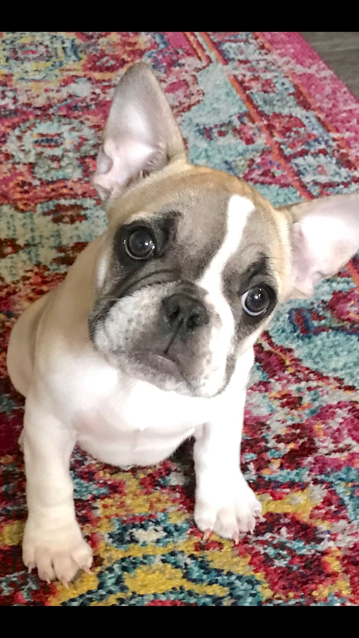 12 Week Old Lucy The French Bulldog Cuddly Animals Puppy Time
