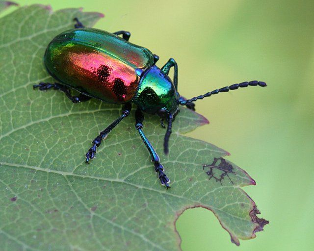 Such a lovely insect is the scarab beetle! | Caduceus