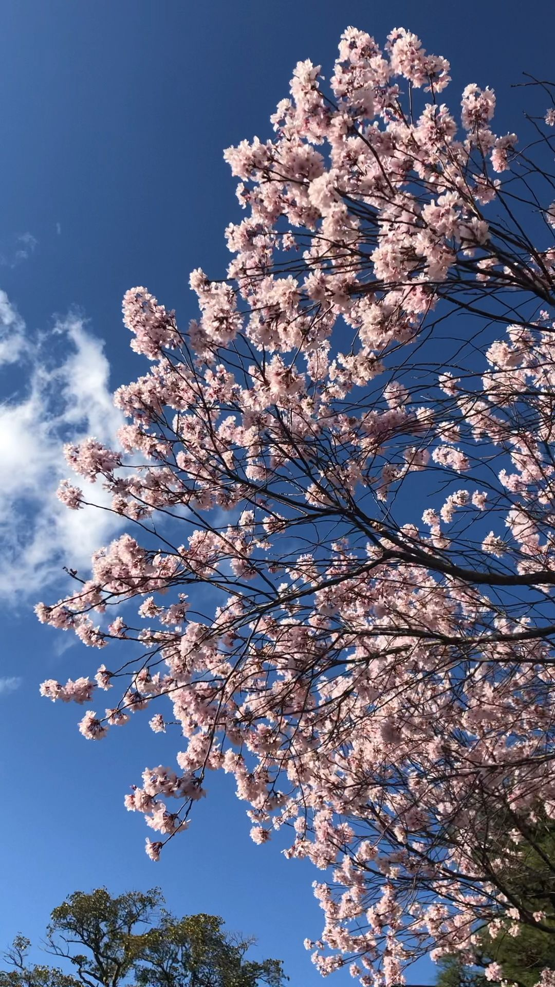 Genial Absolument Gratuit Paysage Jeux Video Suggestions A Sakura Tree In Kyoto During Sp Japan Sakura Cherry Blossom Wallpaper Japanese Landscape