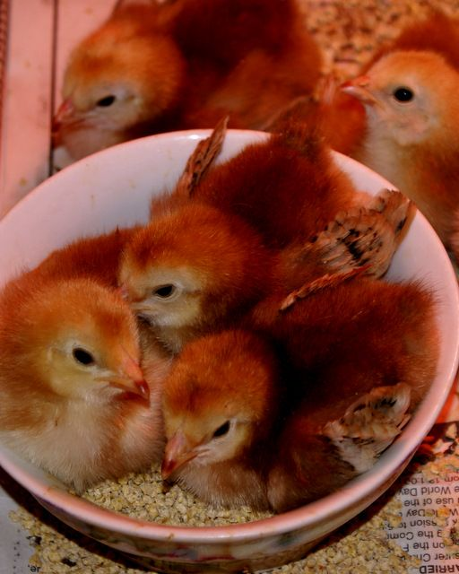 """Baby """"Buckeye"""" pullets. Mahogany red in color, friendly disposition, active foragers, good layers, hardy. Love 'em."""