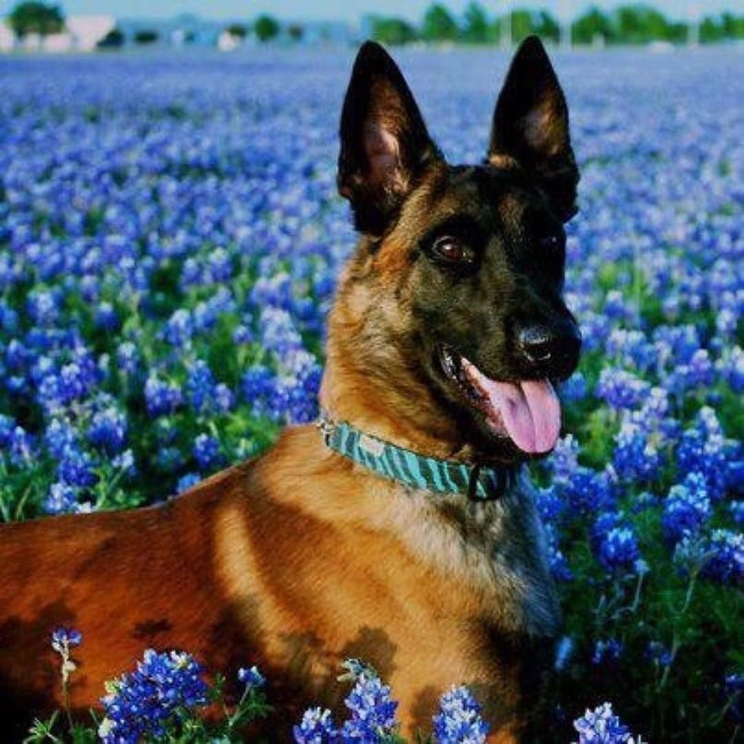 photo in a field of lilac?!? Belgian malinois