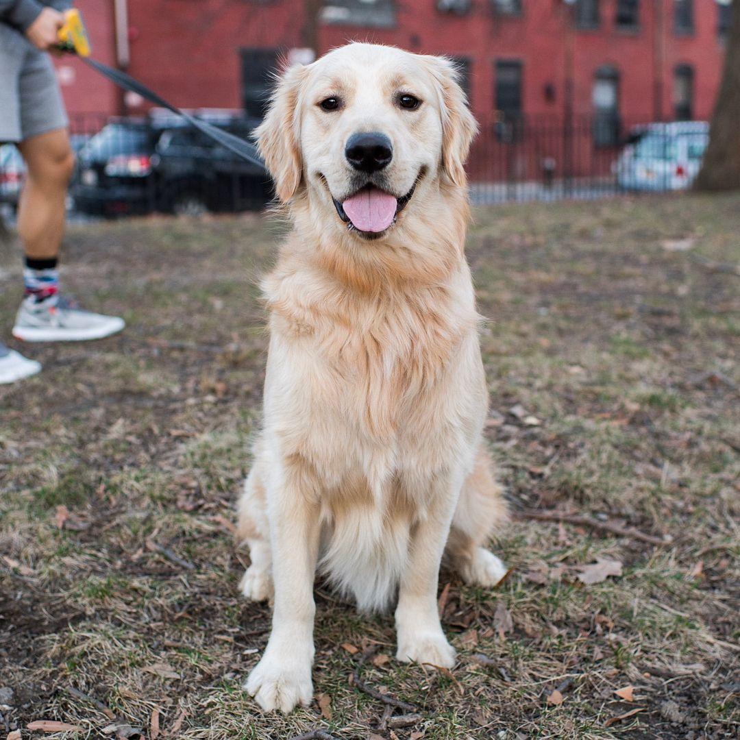 Julian Golden Retriever 15 M O Coffey Park Brooklyn Ny