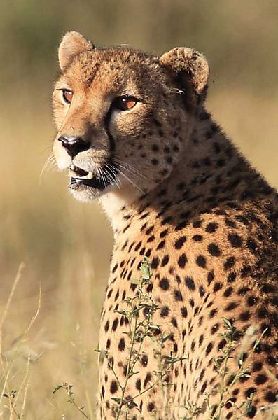 Cheetah Photo In Kruger National Park South Africa South Africa Wildlife Cheetah Photos African Animals