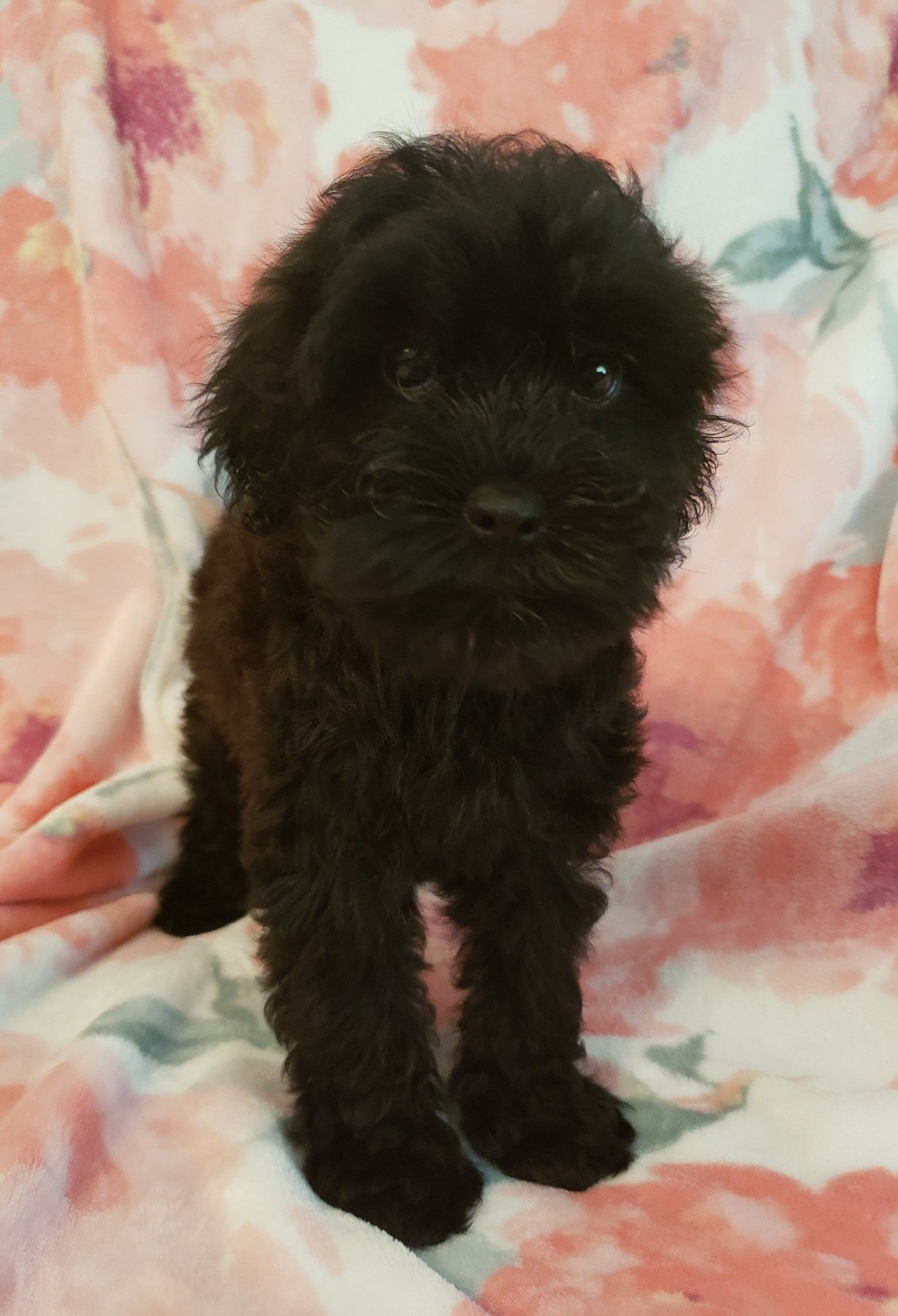 Whoodle South East Canine Nursery Puppy Meme Whoodle Puppy Canine