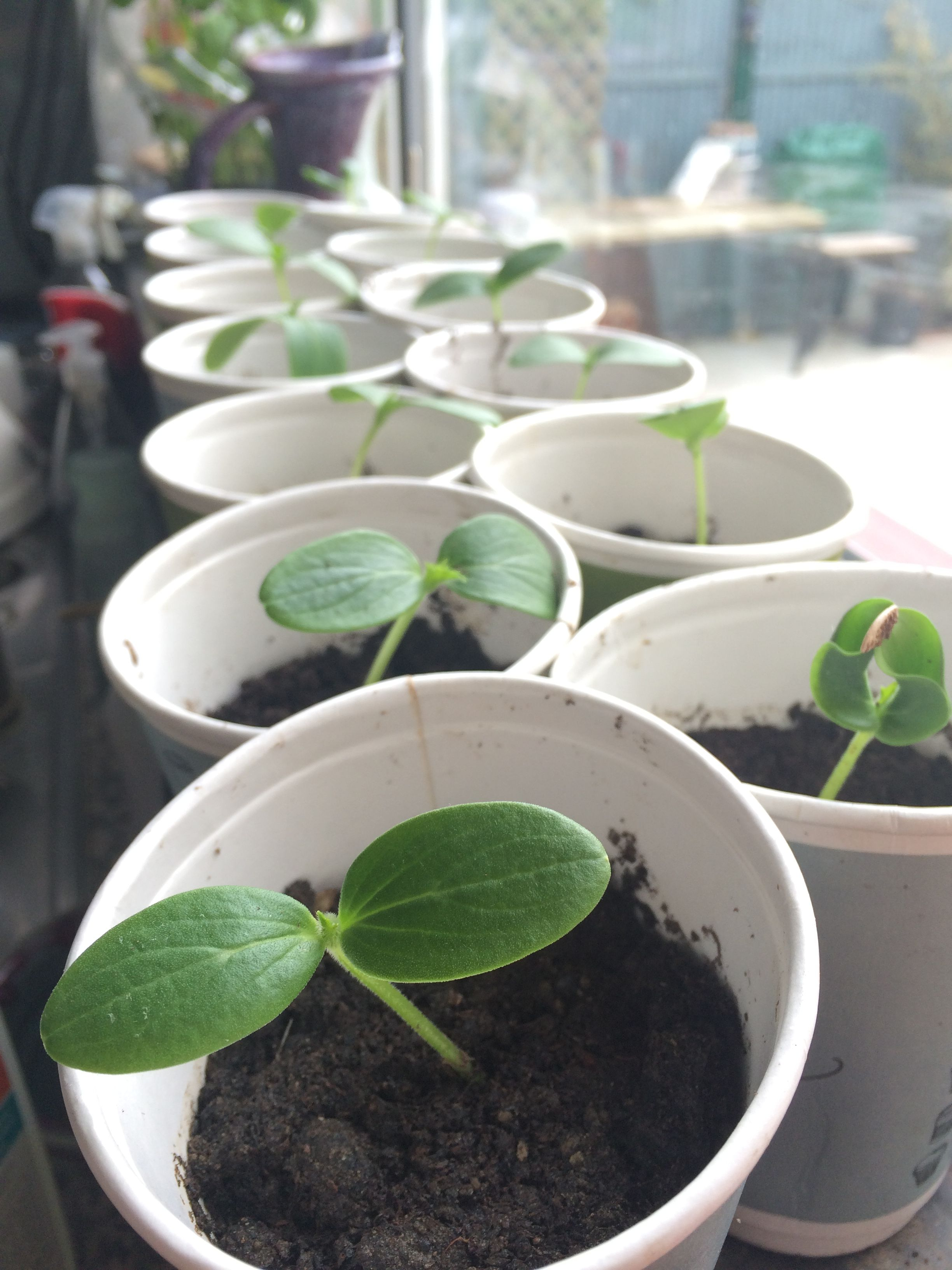 Cucumbers in the winter on the windowsill. The best varieties of cucumbers for growing in the winter on the windowsill 47