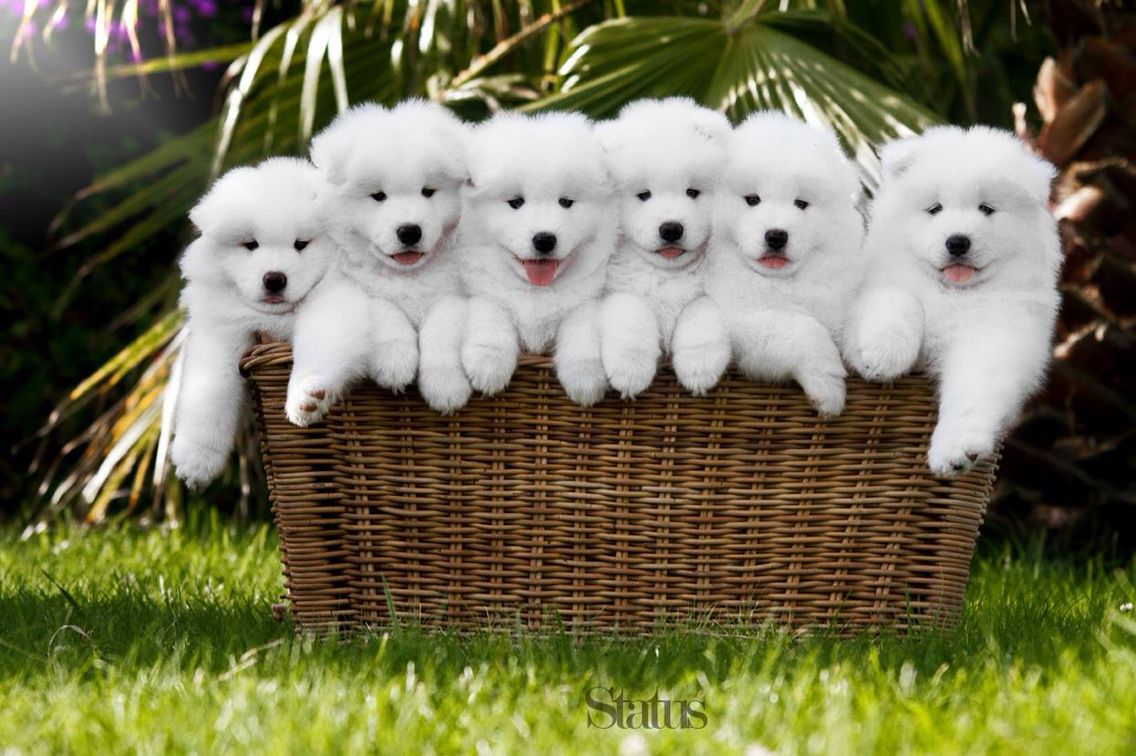 7 week old samoyed puppies. Is there anything cuter?!