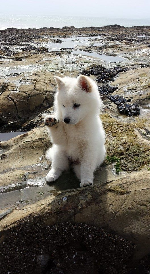 Samoyed puppy sitting on a rocky hillside and waving a cute little paw at someone beside the photographer