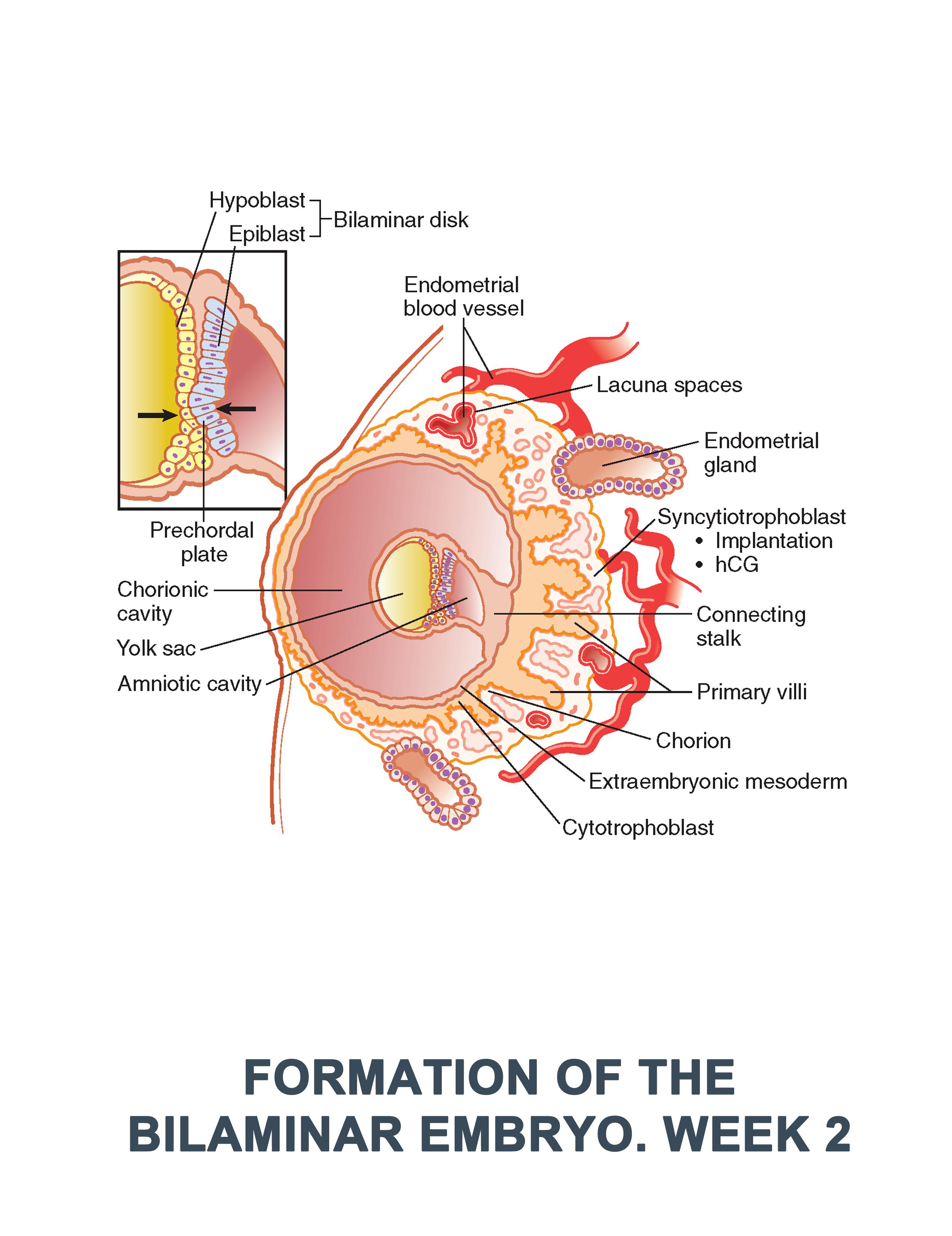 Formation of the Bilaminar Embryo. Week 2 #anatomy images ...