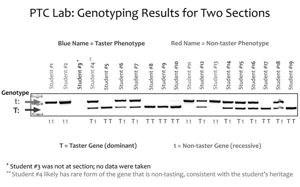 Ptc Lab Genotyping Results For Two Sections Science Education