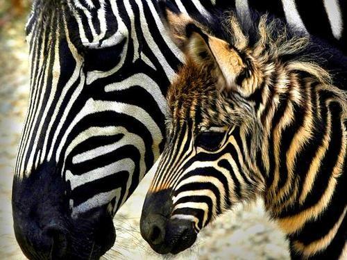 I Love Zebras It S Just Something About Their Stripes I Love It Baby Zebra Zebras Zebra