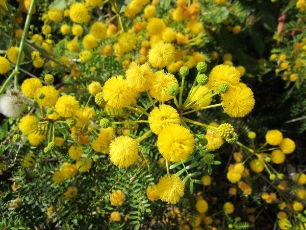 Karroo Akazie Acacia Karroo Acacia Karroo Espinheiro Karoo By Cristina Plants Flora Nature