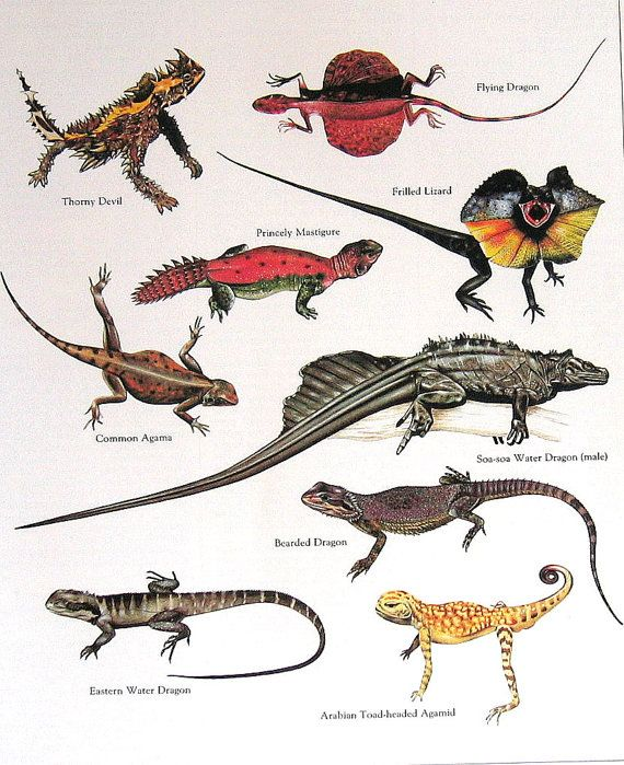 Diablo espinoso Agama común Flying Dragon volantes lagarto ...