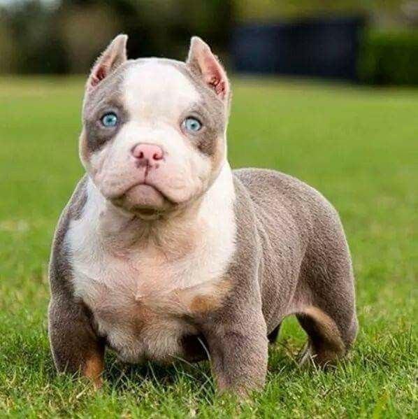 Pin By Ashley Lewis On For The Love Of Animals Pit Puppies Bully Breeds Dogs Puppies