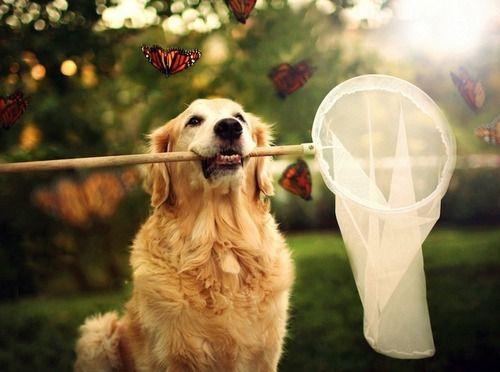 Golden Retriever Catching Butterflies Golden Retriever Adventure Happy Dogs Golden Retriever