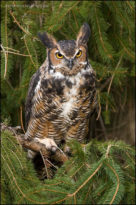 great horned owl perched in tree whoo said owls