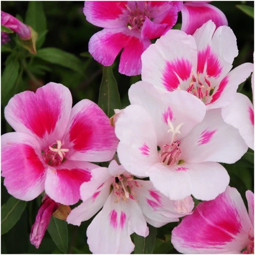 Dwarf Godetia Seeds Farewell To Spring Clarkia Amoena Seed Needs Llc In 2020 Satin Flowers Wildflower Seeds Flowers